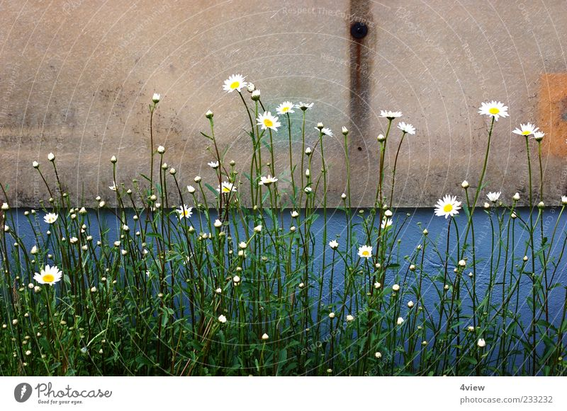minimalistically beautiful Nature Plant Leaf Blossom Wild plant Blossoming Under Blue Yellow Green White Spring fever Exterior shot Day Wall (building) Facade