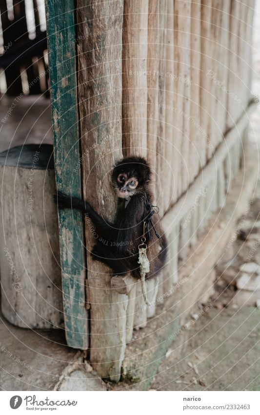 Mexico IV Environment Nature Animal Pet Monkeys Young monkey 1 Baby animal Hang Crouch Sit Colour photo Subdued colour Exterior shot Copy Space top Day Looking