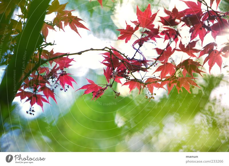 Asian fan Nature Spring Tree Leaf Exotic Japan maple tree Branch Blossoming Growth Authentic Exceptional Fantastic Beautiful Red Spring fever Colour photo
