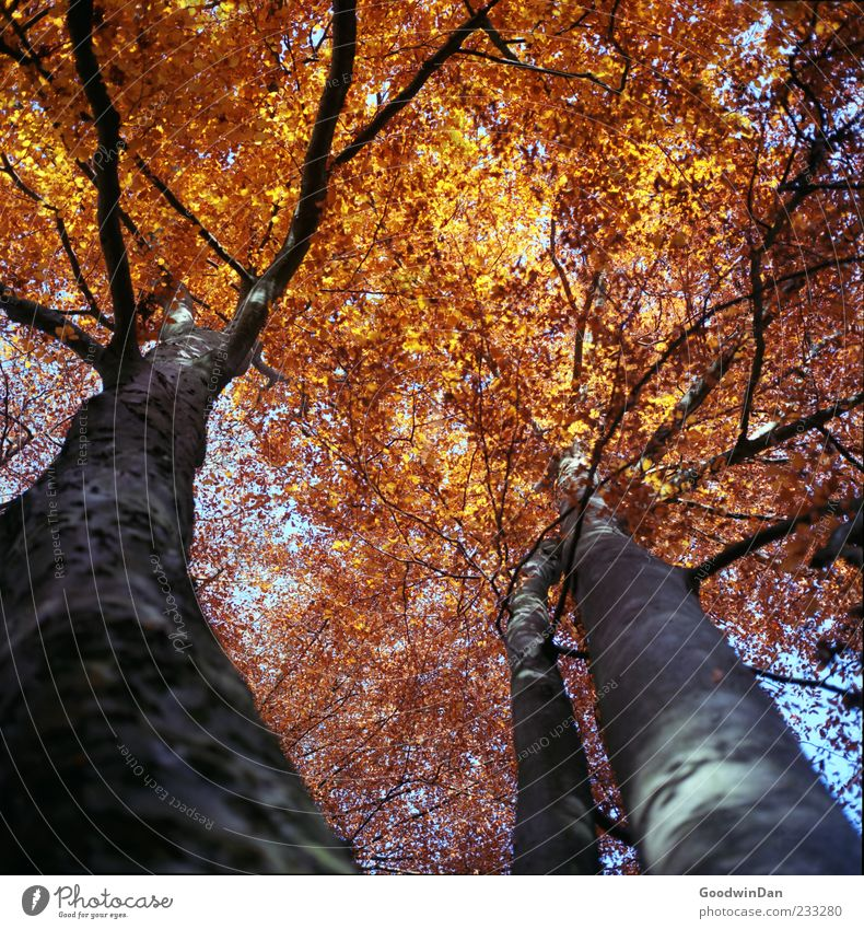 Nature Tree Environment Autumn Above Moody Weather Large Authentic Beautiful weather Tree trunk Autumn leaves Autumnal Leaf canopy