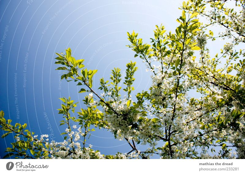 Sky Nature White Tree Plant Leaf Environment Blossom Spring Beautiful weather Fragrance Treetop Cloudless sky Spring fever Leaf canopy