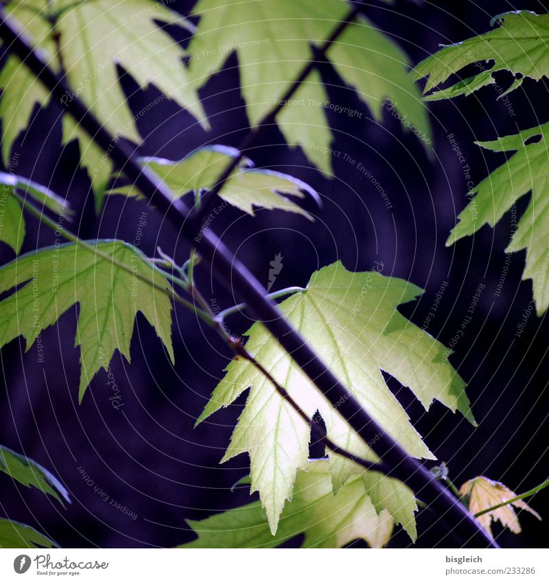 maple leaves Plant Tree Leaf Maple tree Maple leaf Green Calm Spring Colour photo Exterior shot Deserted Leaf green Detail Close-up