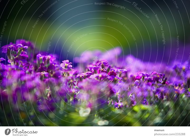 Green Beautiful Plant Flower Spring Violet Blossoming Spring fever Spring flower