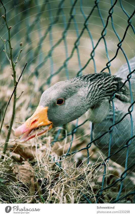 Nature Animal Eyes Environment Grass Wild animal Exceptional Animal face Dry Fence Appetite Neck To feed Beak Goose Muzzle