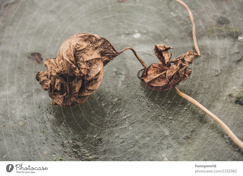 Dried leaf lies on ice surface Environment Old Cold Illness Dry Loneliness End Apocalyptic sentiment Fiasco Stagnating Leaf Shriveled Brown Death Time Ice