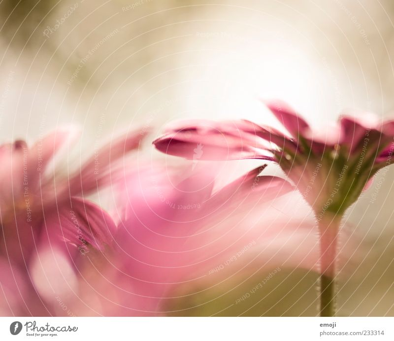 Nature Plant Flower Spring Pink Delicate Fragrance Smooth Blossom Blossom leave Light