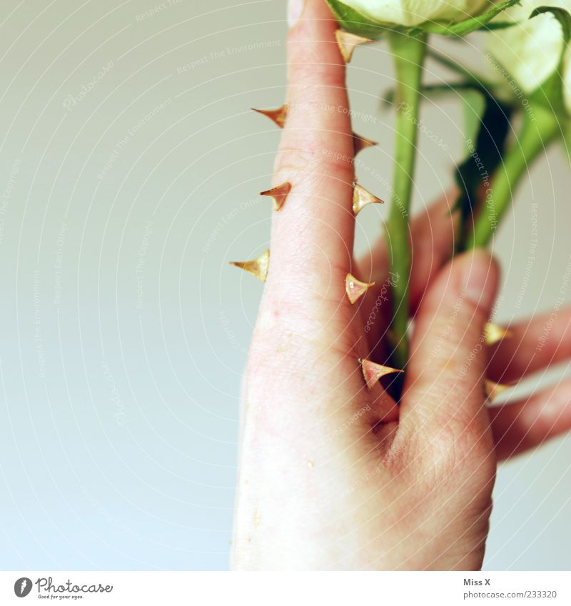 thorn finger Hand Fingers Plant Flower Rose Leaf Blossom Blossoming Point Thorny Protection Animosity Bizarre Surrealism Stalk Rose plants Colour photo Close-up