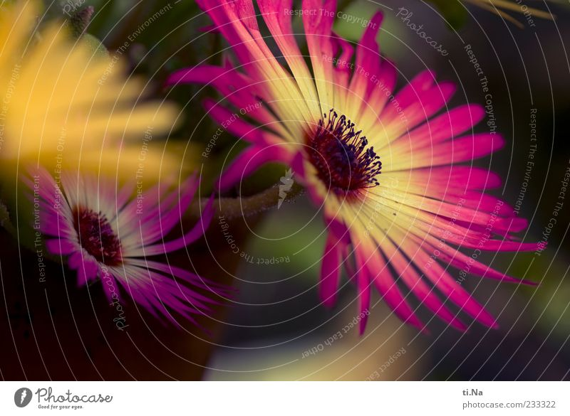 ice flowers Spring Plant Livingstone daisy Blossoming Esthetic Bright Beautiful Yellow Pink Colour photo Multicoloured Exterior shot Close-up Day Blur