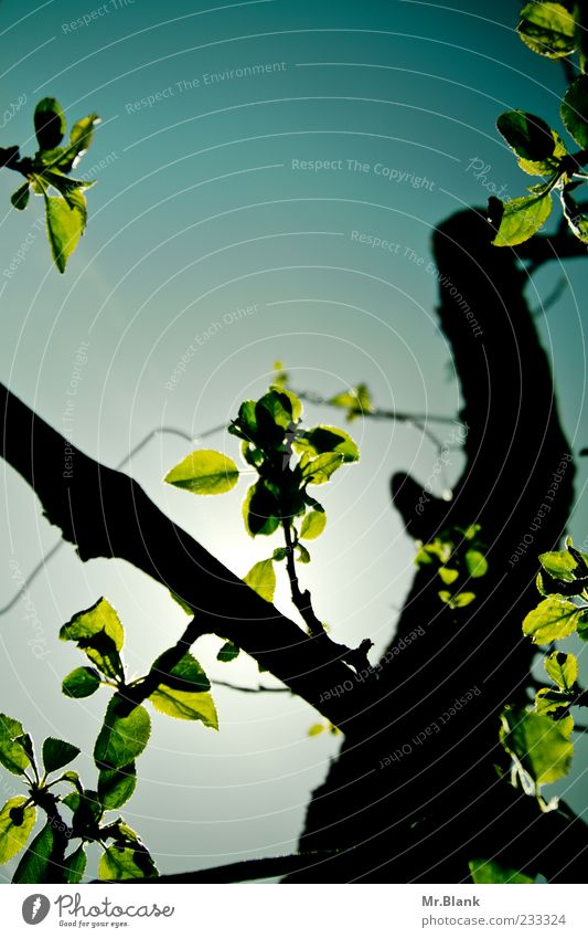 sheets in transmitted light Nature Plant Sky Tree Leaf Blue Green Black Branch Colour photo Exterior shot Deserted Copy Space top Day Light Shadow Contrast