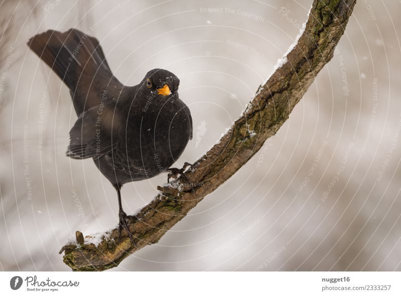 Blackbird on a branch Environment Nature Animal Autumn Winter Climate Ice Frost Snow Snowfall Tree Branch Garden Park Forest Wild animal Mouse Animal face Wing