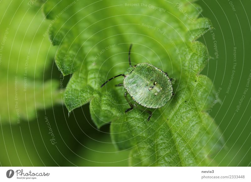 bug on leaf Environment Nature Animal Plant Grass Leaf Foliage plant Garden Park Meadow Wild animal Beetle 1 Esthetic Small Cute Beautiful Green Feeler Bug