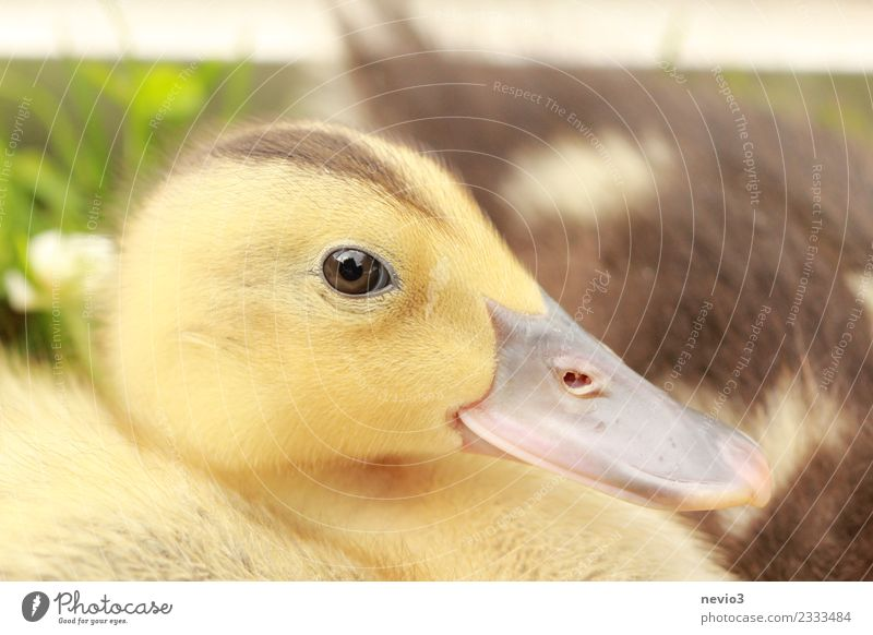Duckling with an interested eye Environment Summer Animal Pet Farm animal Wild animal Bird Animal face 1 Brown Yellow Gold Emotions Spring fever Life Duck birds