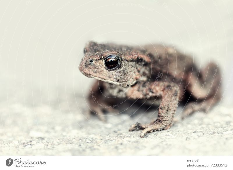 Toad on stone floor Nature Animal Garden Rock Wild animal Frog Animal face 1 Wait Disgust Hideous Small Wet Slimy Brown Patient Calm Painted frog Toad migration