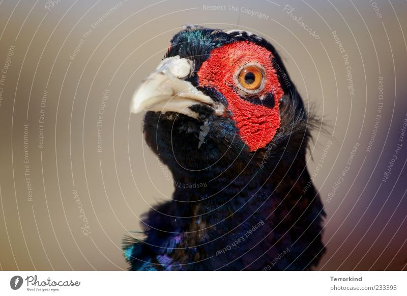Red Eyes Feather Animal face Beak Spiekeroog Plumed Animal Pheasant