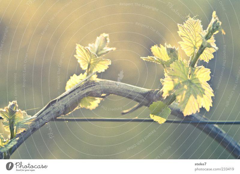 Green Plant Leaf Spring Growth Vine Twig Wire Dawn Vine leaf