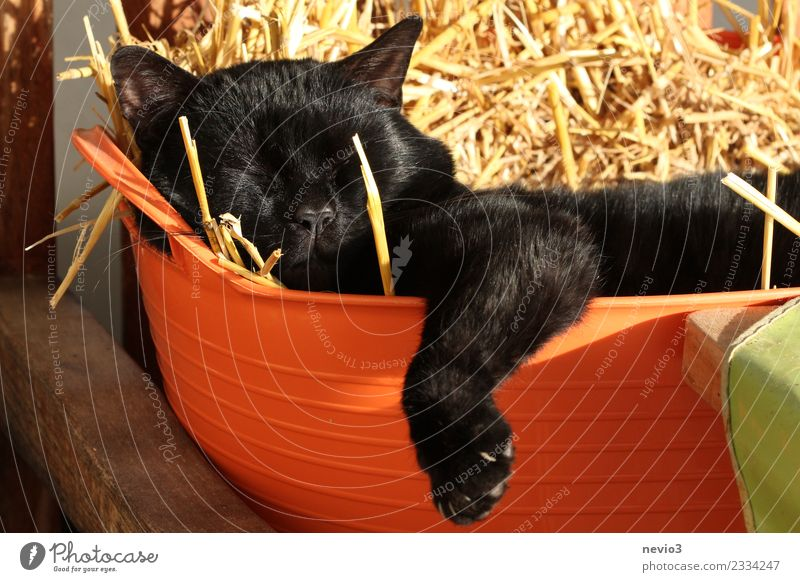 Cat lies lazily in a laundry basket filled with straw Animal Pet Farm animal Animal face Pelt Claw Paw 1 Baby animal Lie Cool (slang) Contentment Indifferent