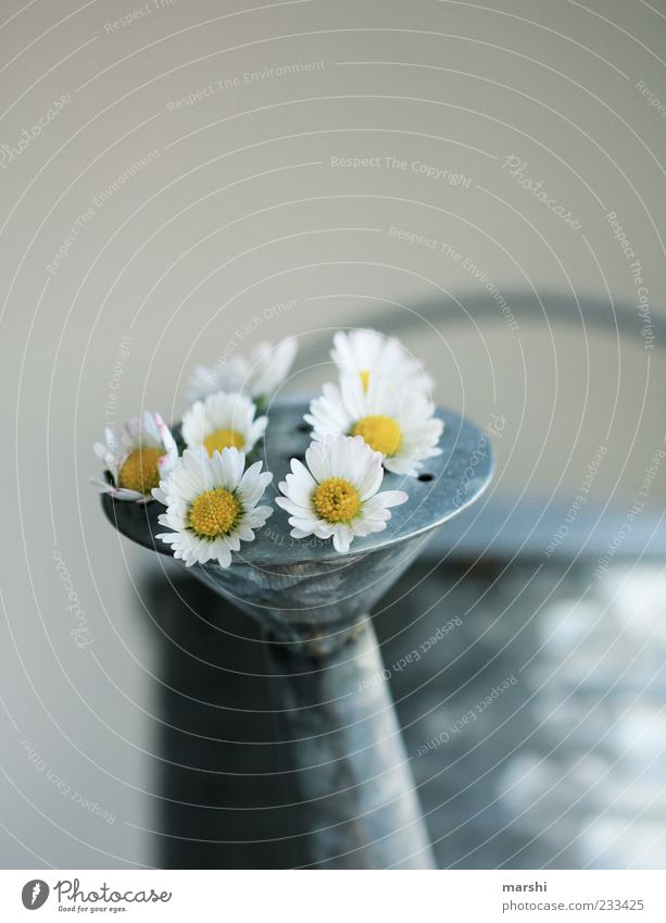 Nature White Beautiful Plant Flower Yellow Exceptional Growth Decoration Daisy Tin Watering can Sprout