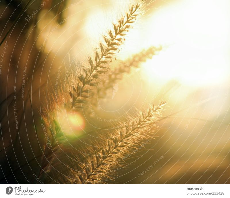 Nature Plant Sun Warmth Gold Soft Ear of corn Macro (Extreme close-up) Grass tip
