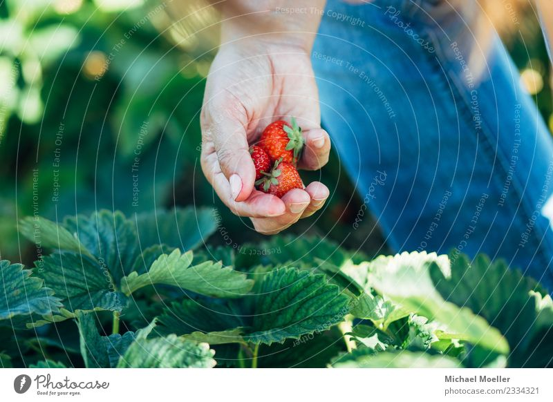 Michael Moeller, all rights reserved © 2017 Fruit Nutrition Vegetarian diet Strawberry Summer Eating Human being Hand 30 - 45 years Adults Nature Oldenburg food