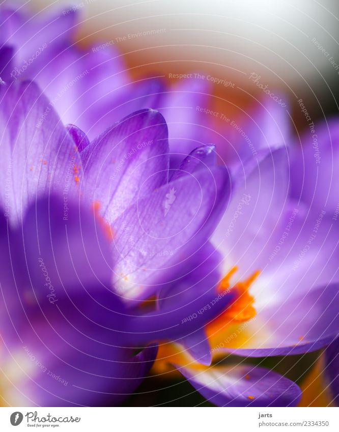 Corkuses II Plant Spring Beautiful weather Flower Blossom Garden Blossoming Fresh Multicoloured Pink Spring fever Nature Crocus Colour photo Exterior shot