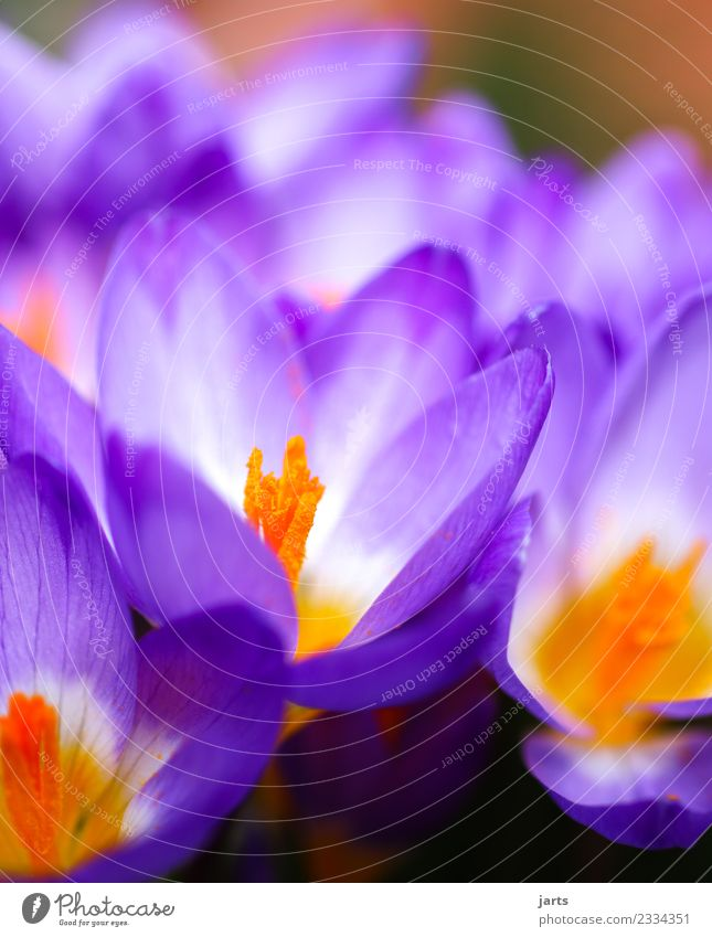 thriving Nature Plant Spring Beautiful weather Flower Garden Park Blossoming Growth Fragrance Fresh Natural Violet Spring fever Crocus Colour photo