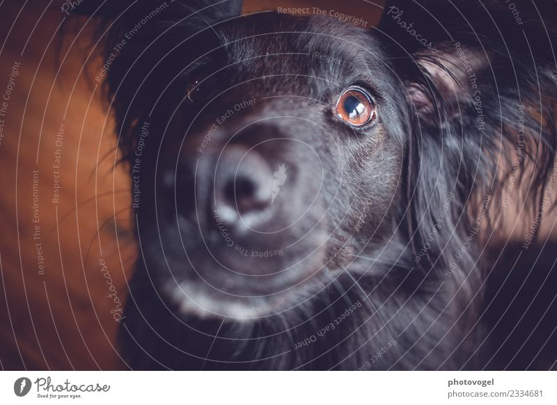 doggie eyes Animal Pet Dog Animal face 1 Observe Friendliness Curiosity Brown Black Warm-heartedness Sympathy Love Loyalty Eyes Looking Soft Interest Pelt