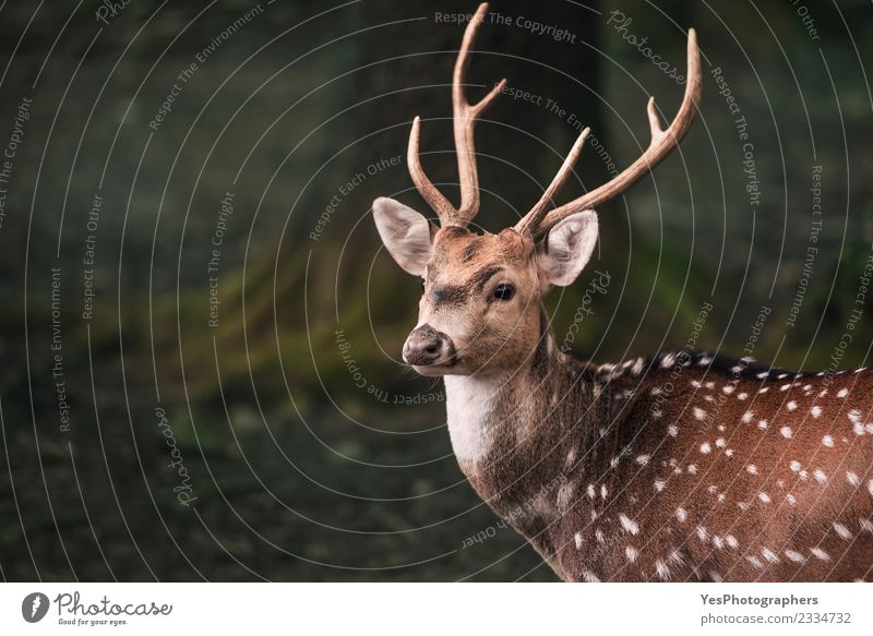 Cute fallow buck deer portrait Man Adults Nature Park Forest Listening Funny Natural Wild Loneliness Germany animals Antlers Buck Cautious cervid dark forest