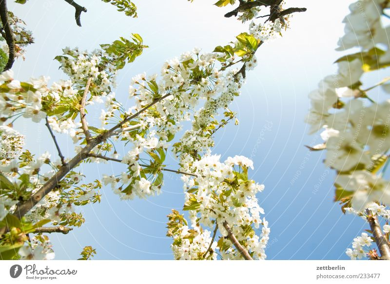 Nature Plant Leaf Blossom Spring Branch Delicate Beautiful weather Blossoming Twig Blue sky Branchage Cherry blossom Twigs and branches Cherry tree