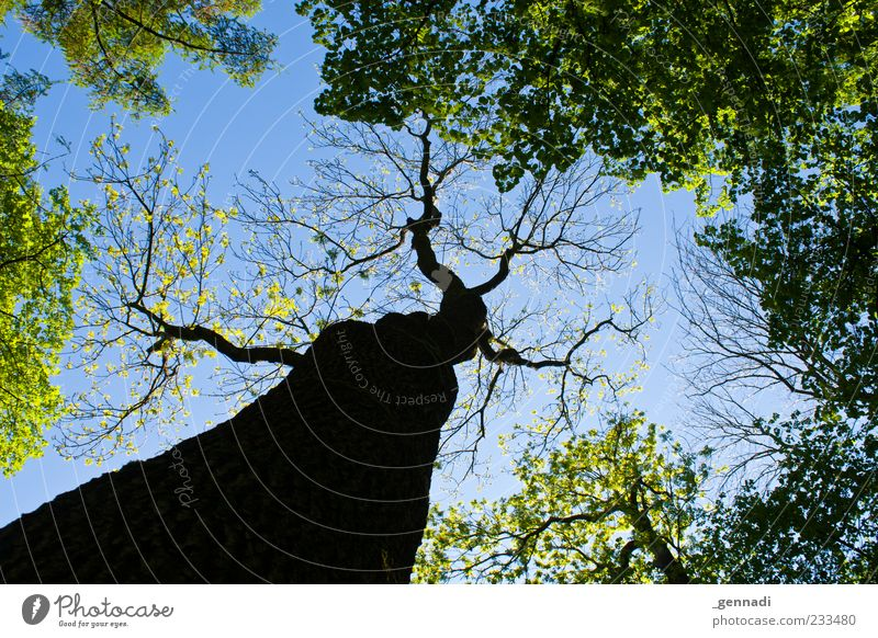 Sky Nature Blue Plant Leaf Forest Branch Beautiful weather Tree trunk Treetop Cloudless sky Blue sky May Twigs and branches Leaf canopy