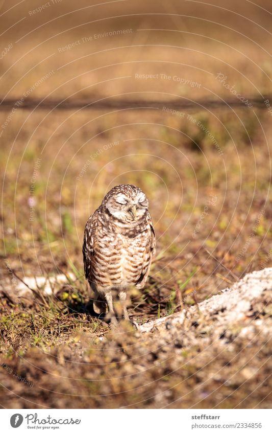 Burrowing owl Athene cunicularia Animal Meadow Grass Brown Bird Wild animal Feather Sleep Animal face Grassland Bird of prey Florida Owl Neon yellow