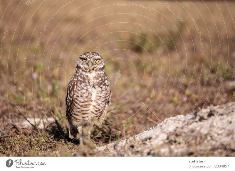 Burrowing owl Athene cunicularia Grass Meadow Animal Wild animal Bird Animal face 1 Brown Yellow Gold Owl Bird of prey raptor Marco Island Florida bright eyes