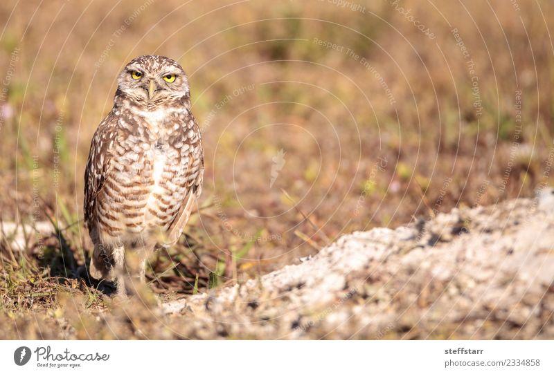 Burrowing owl Athene cunicularia Grass Meadow Animal Farm animal Bird 1 Brown Yellow Gold Owl Bird of prey raptor Marco Island Florida bright eyes yellow eyes