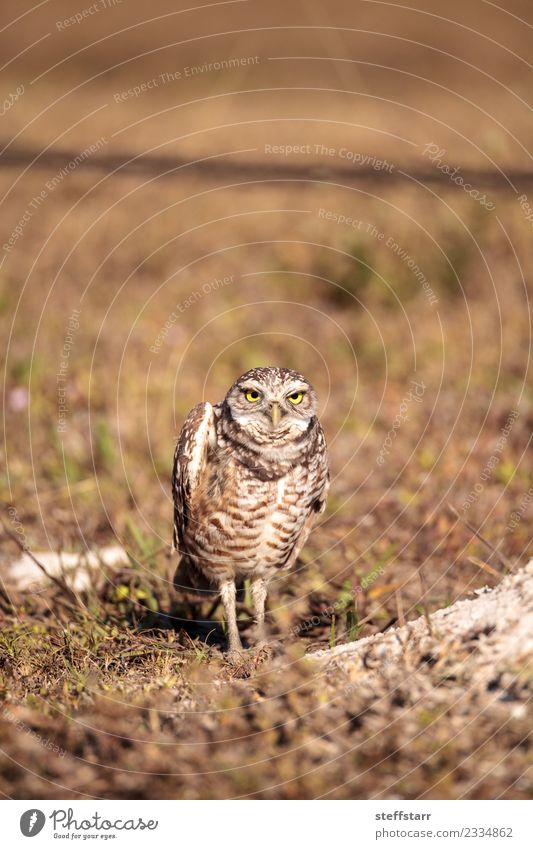 Burrowing owl Athene cunicularia Grass Meadow Bird Brown Yellow Gold Owl Bird of prey raptor Marco Island Florida bright eyes yellow eyes Neon yellow Feather
