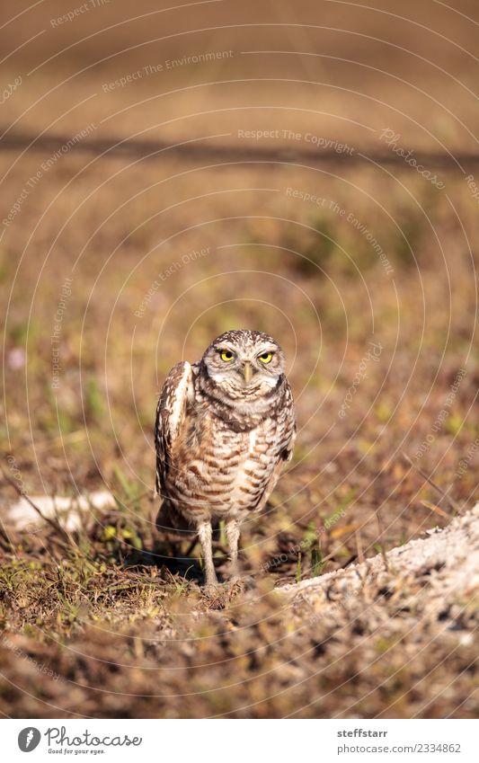 Burrowing owl Athene cunicularia Yellow Meadow Grass Brown Bird Gold Feather Grassland Bird of prey Florida Owl Neon yellow