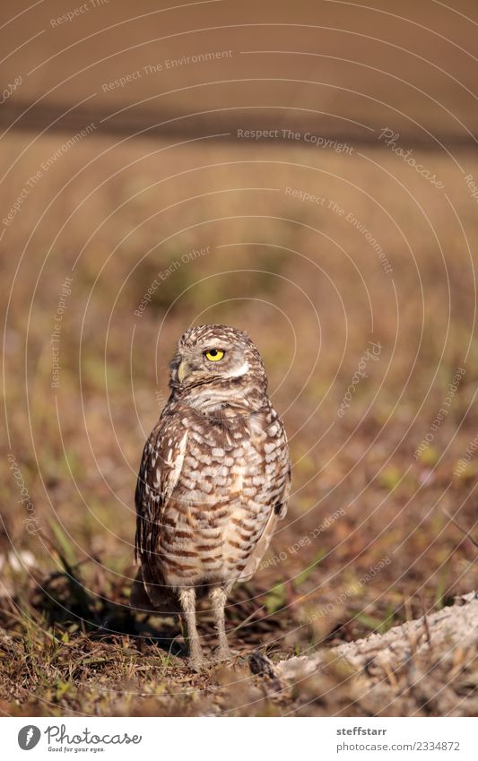 Burrowing owl Athene cunicularia perched Animal Yellow Meadow Brown Bird Wild animal Feather Threat Mysterious Grassland Bird of prey Florida Owl Neon yellow