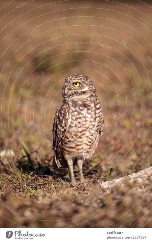 Burrowing owl Athene cunicularia Grass Meadow Animal Wild animal Bird 1 Brown Yellow Gold Owl Bird of prey raptor Marco Island Florida bright eyes yellow eyes