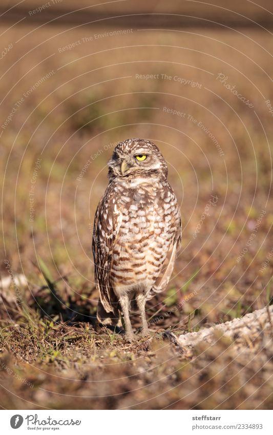 Burrowing owl Athene cunicularia Animal Yellow Meadow Grass Brown Bird Gold Wild animal Feather Grassland Bird of prey Florida Owl Neon yellow