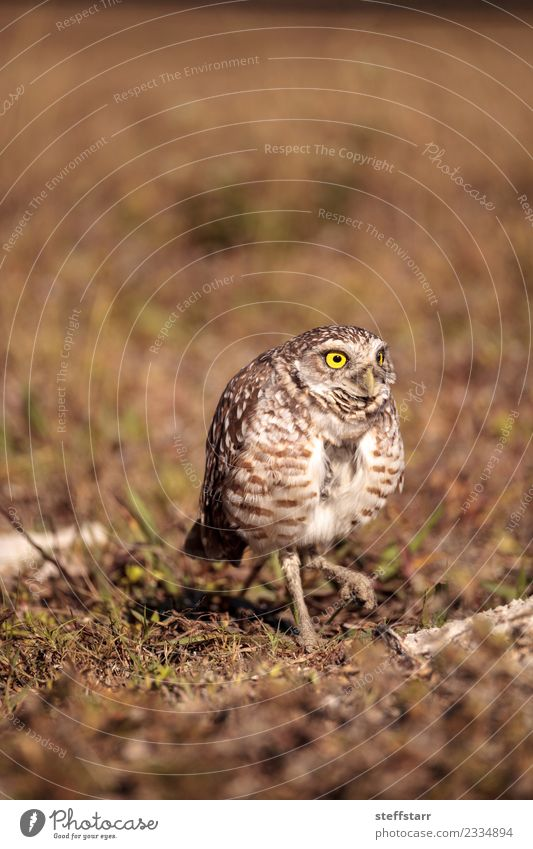 Burrowing owl Athene cunicularia perched Animal Yellow Meadow Grass Brown Bird Gold Wild animal Feather Wing Grassland Bird of prey Florida Owl Neon yellow