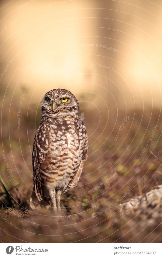 Burrowing owl Athene cunicularia Animal Yellow Grass Brown Bird Field Gold Wild animal Feather Animal face Grassland Bird of prey Florida Owl Neon yellow