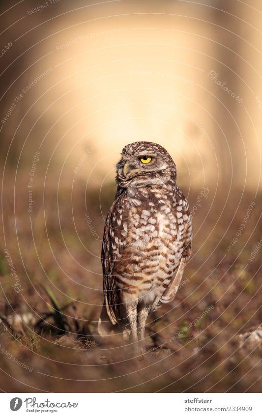 Burrowing owl Athene cunicularia Animal Yellow Meadow Grass Brown Bird Gold Wild animal Feather Animal face Grassland Bird of prey Florida Owl Neon yellow