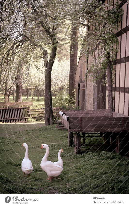 village idyll Agriculture Forestry Spring Plant Tree Grass Blossom Foliage plant Stone Going Duck White Carriage Trailer Fence Farm 3 Goose Half-timbered house