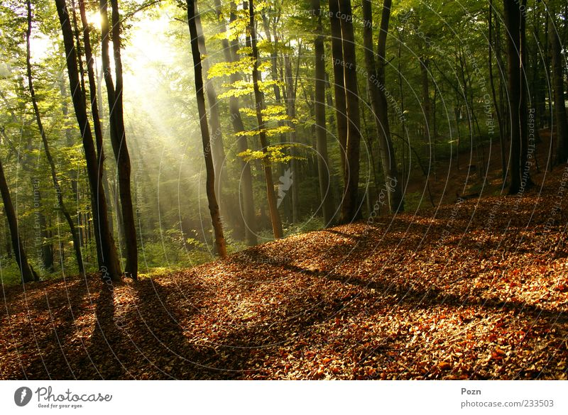Dawn in a forest Nature Tree Sun Green Plant Leaf Yellow Colour Forest Life Autumn Park Landscape Fog Environment Gold