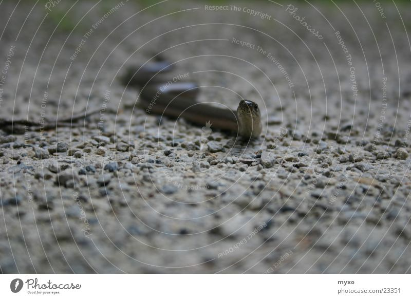 Blindworm is watching Slow worm Reptiles Gravel Snake Stone Eyes
