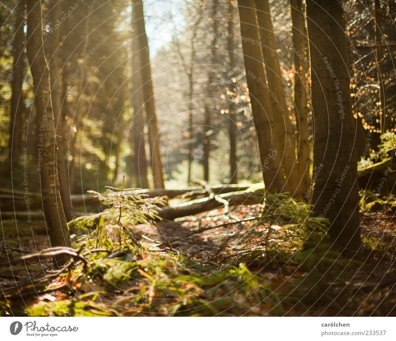 clearing Environment Nature Landscape Beautiful weather Forest Brown Green Black Forest Woodground Back-light Shaft of light Colour photo Exterior shot Deserted