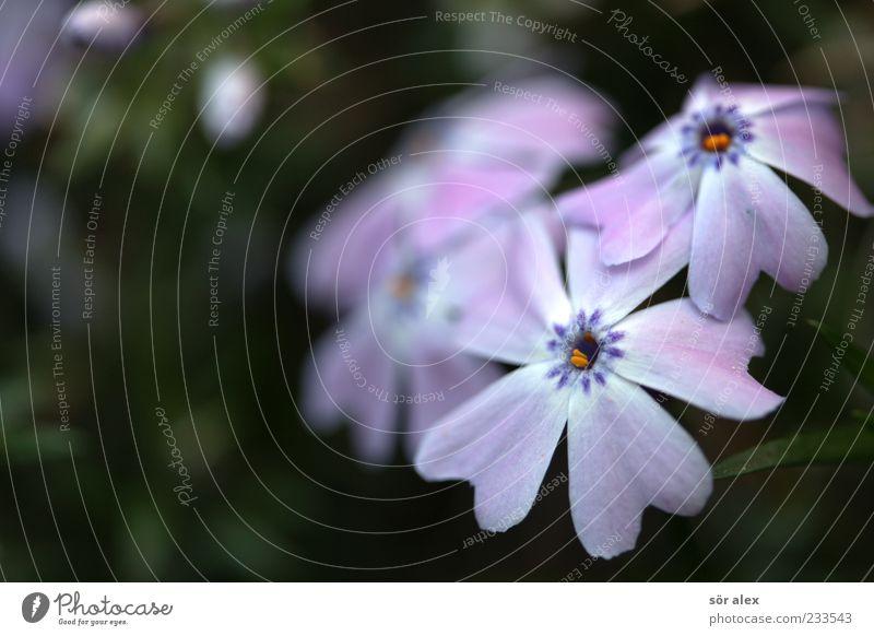 Beautiful Plant Flower Blossom Spring Violet Fragrance Blossom leave Spring fever