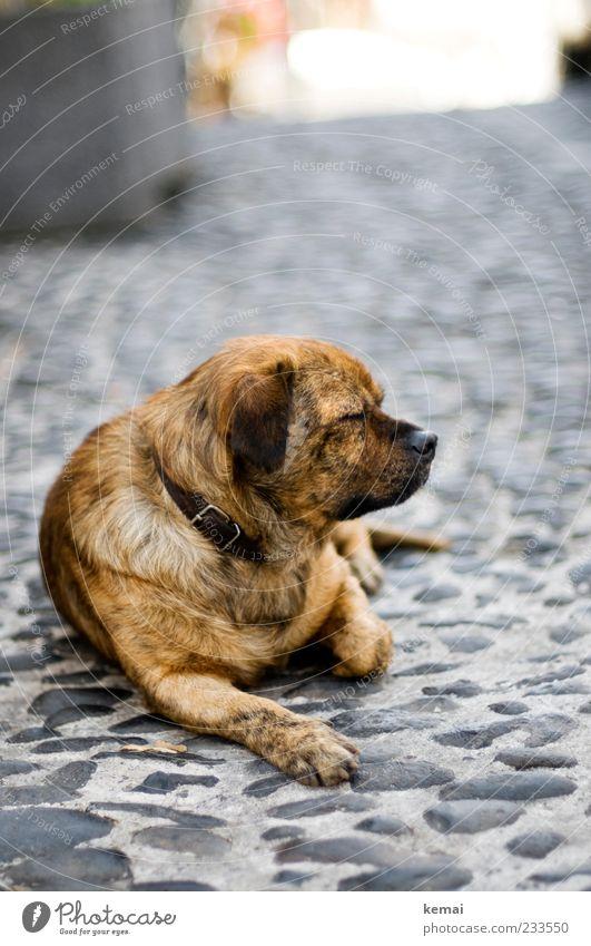 Dog Animal Calm Relaxation Lanes & trails Stone Head Brown Lie Sleep Break Pelt Animal face Fatigue Pet Paw