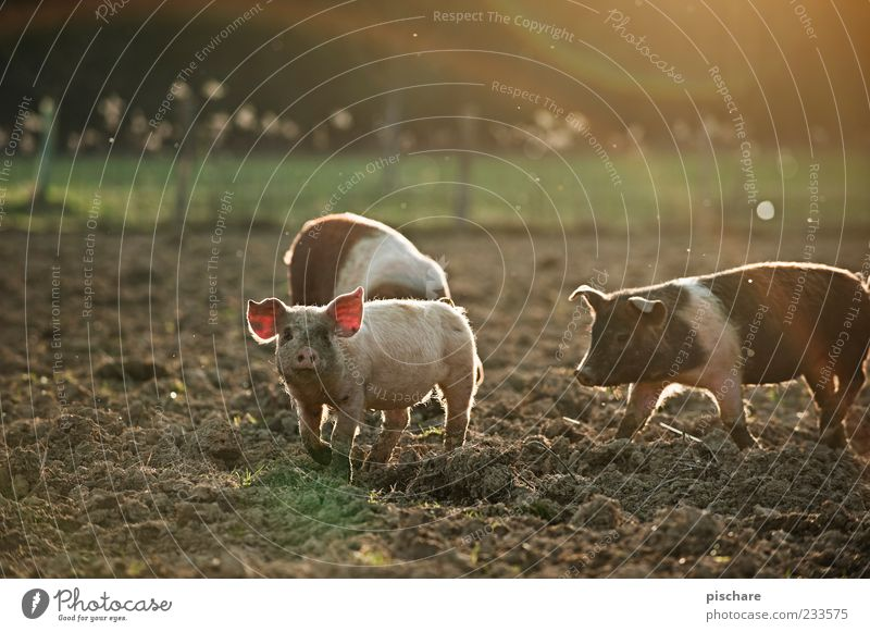 Nature Animal Happy Baby animal Field Dirty Natural Group of animals Observe Curiosity Agriculture Farm Joie de vivre (Vitality) Pigs Swine Cattle breeding