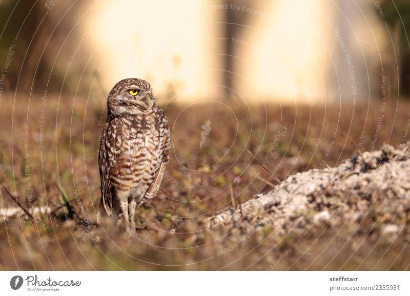 Burrowing owl Athene cunicularia Meadow Grass Bird Brown Feather Grassland Bird of prey Florida Owl Neon yellow