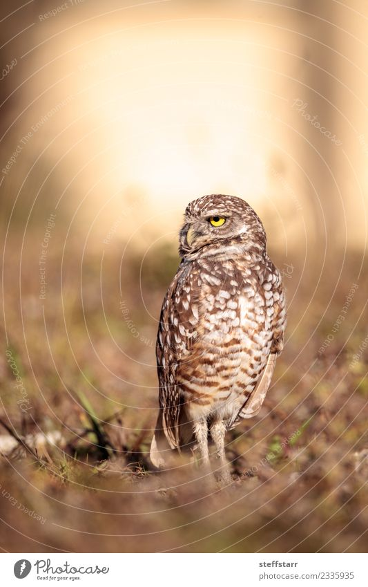 Burrowing owl Athene cunicularia Animal Meadow Grass Bird Brown Wild animal Sit Feather Wing Mysterious Animal face Grassland Bird of prey Florida Owl