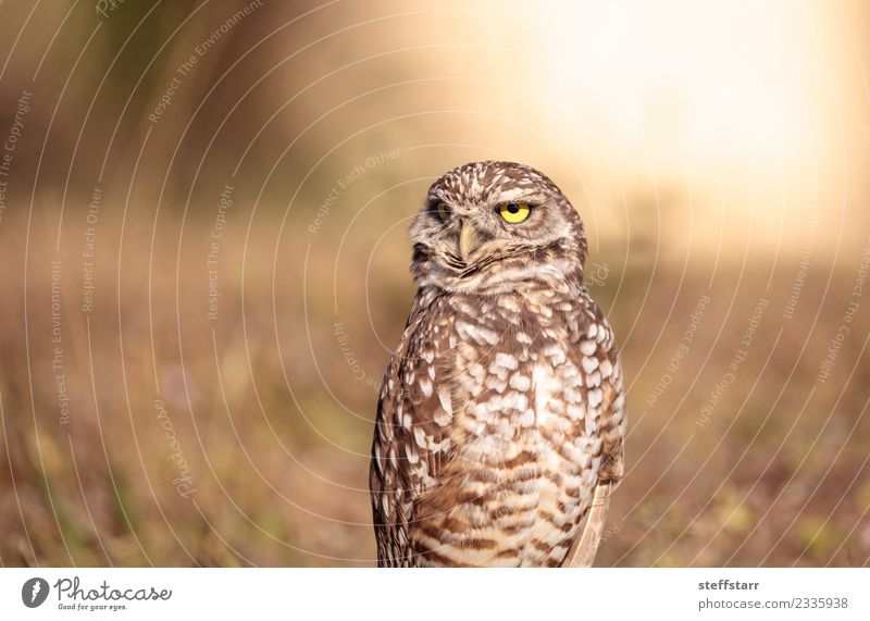 Burrowing owl Athene cunicularia Animal Grass Brown Bird Field Wild animal Feather Animal face Grassland Bird of prey Florida Owl Neon yellow